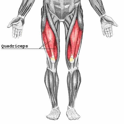 quadriceps anatomy